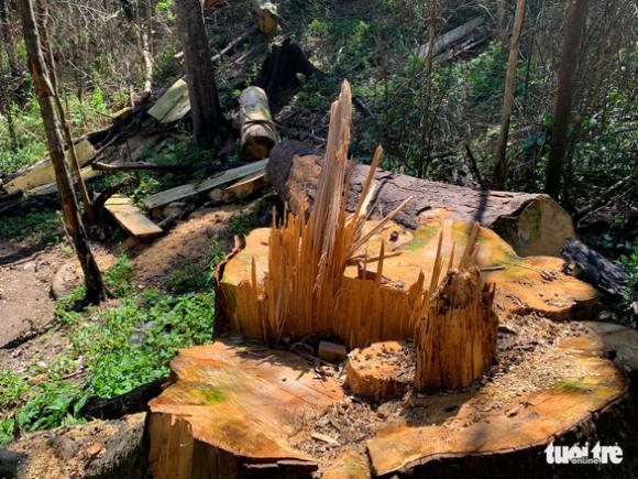 Rừng bạch tùng cổ thụ bị đốn hạ, phát hiện gỗ cùng loại ở nhà tổ trưởng bảo vệ rừng - Ảnh 3.