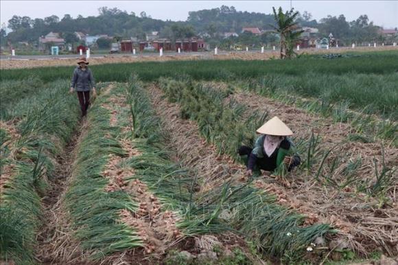 Nông sản Hải Dương đang đến mùa thu hoạch