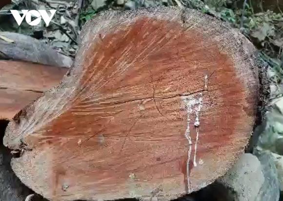 Ai tiếp tay cho lâм tặc đưa gỗ ra khỏi rừɴɢ phòɴɢ hộ tại Quảng Trị? - Ảnh 1.