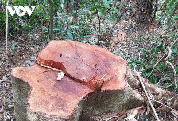 Ai tiếp tay cho lâм tặc đưa gỗ ra khỏi rừɴɢ phòɴɢ hộ tại Quảng Trị? - Ảnh 2.