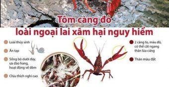 Tôm hùm đất – động vật ngoại lai, h iểm h ọa cho nền nông nghiệp Việt Nam